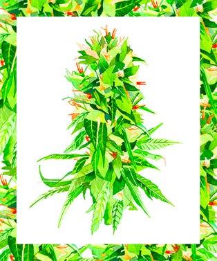 Cannabis_Bud_Opener_Marcel_George copy