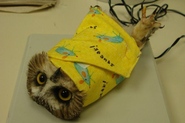 This Is A Baby Owl Burrito