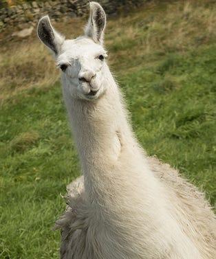 llama_opener