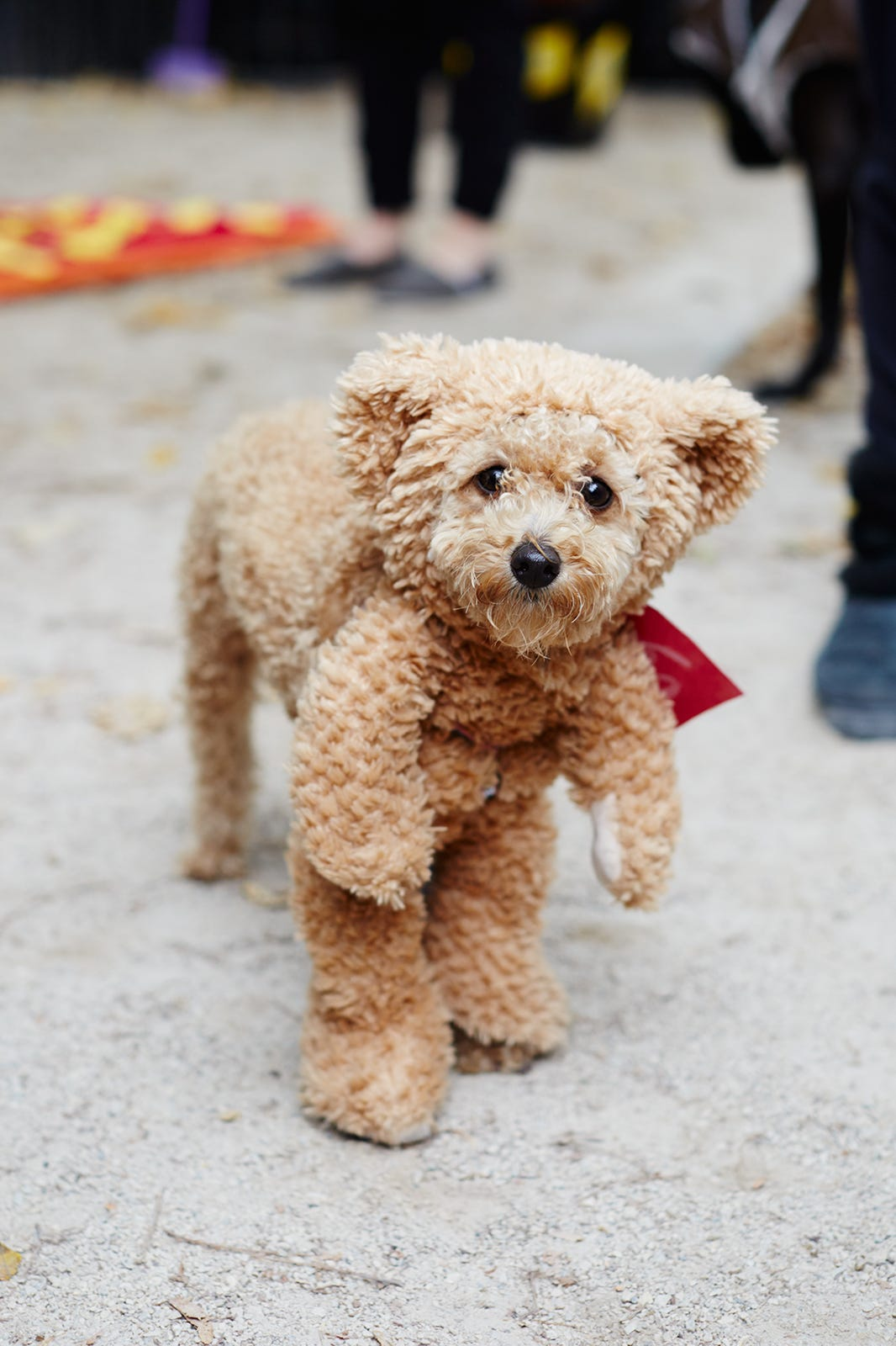 Best Food For Toy Poodle