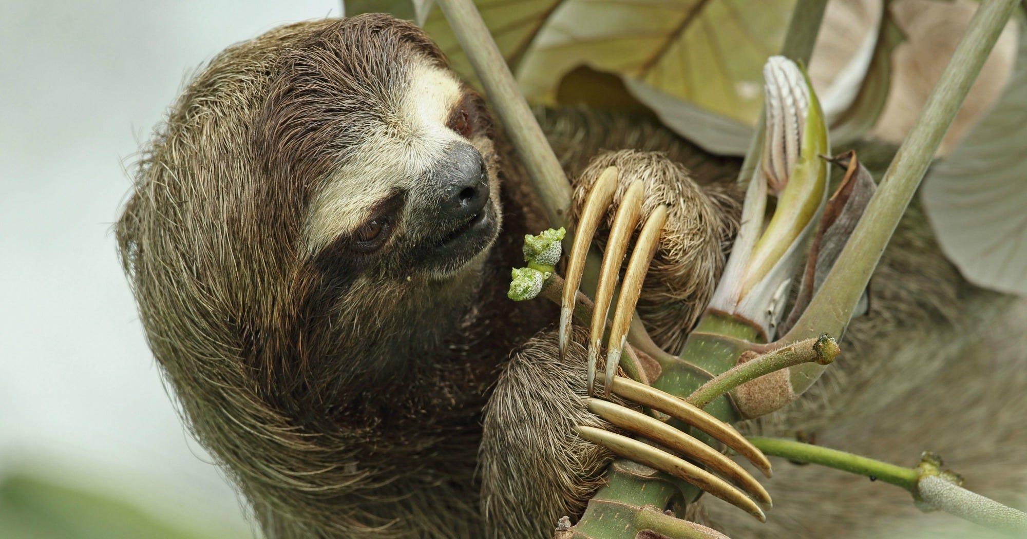 the three toed sloth essay