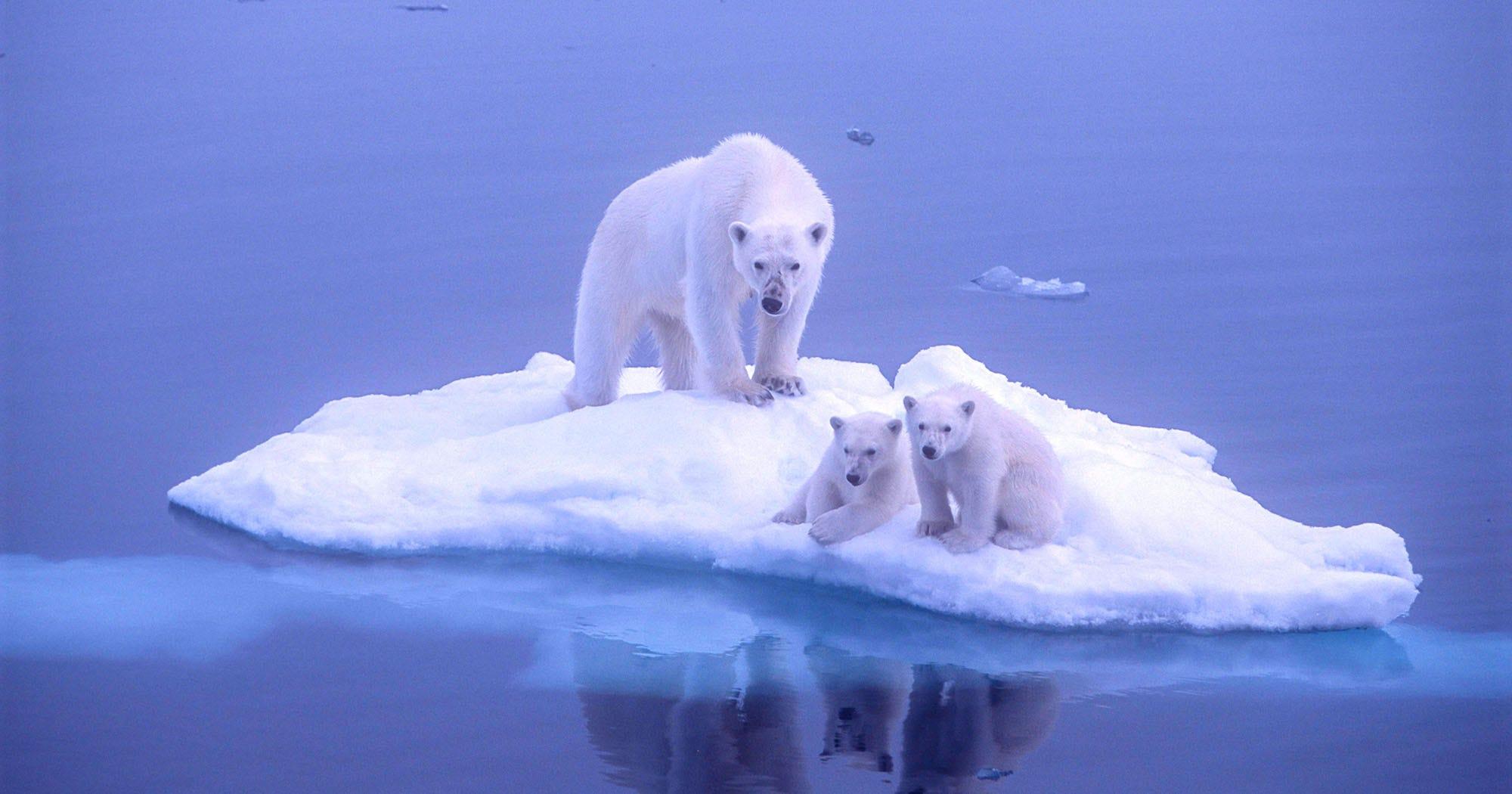 Easy Life Hacks Polar Bear Population Report